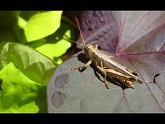 ~Hello~ (*~Tammy~*) Tags: autumn macro fall nature insect leaf kisses grasshopper hugs whereru hurryback missingu2 takeitec flickraintthesame hugstammy