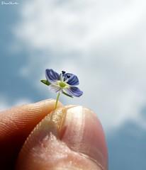 Similes Colores ([DuncanShorter]) Tags: blue sky cloud flower macro nikon fingers flor cielo dedos nube holdingflowers uptothesky p80