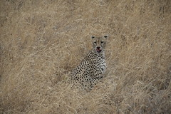Cheetah licking blood after a kill - Serengeti NP, Tanzania