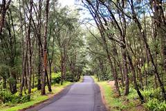 Puna Forest (EmperorNorton47) Tags: hawaii photo vanishingpoint rainforest tropical bigisland tropics puna