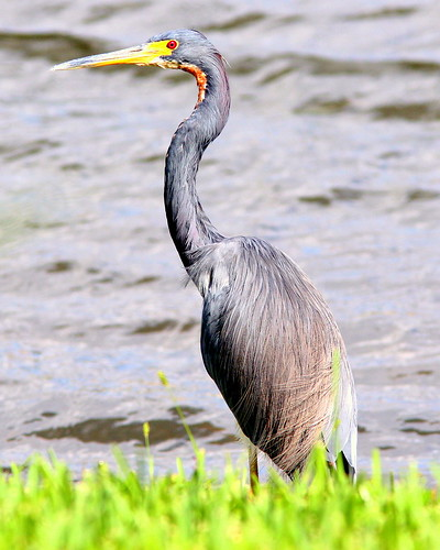 Tricolored Heron 20091028