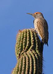 Gilded Flicker (jhaskellus) Tags: arizona bird phoenix garden woodpecker desert trail botanicalgarden flicker desertbotanicalgarden dbg gildedflicker jhaskellus jhaskell jackhaskell nativepeoplestrail