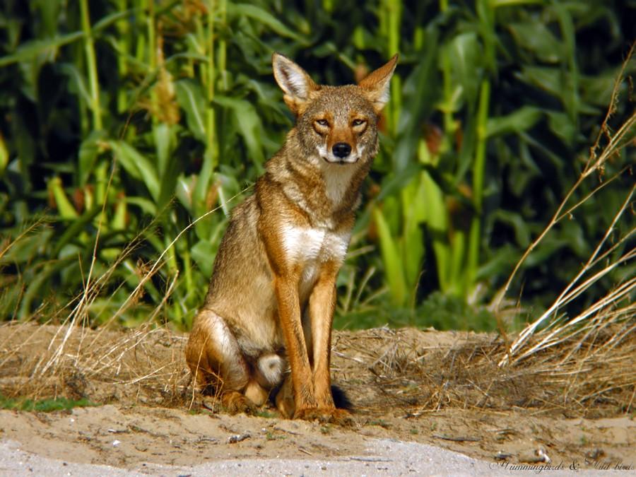 coyote 06091