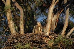 Sea-eagle Eaglet On Nest, 15th October (Calidris!) Tags: birds eagle sydney australia nsw eagles raptors seaeagle sydneyolympicpark homebushbay seaeagles whitebelliedseaeagle haliaeetusleucogaster