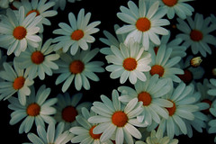 Prstkrage (Oxeye Daisy) (Johan Runegrund) Tags: dog moon grave photoshop sweden daisy sverige johan oxeye leucanthemum kyrkogrd vulgare jard prst krage colorphotoaward bleket runegrund