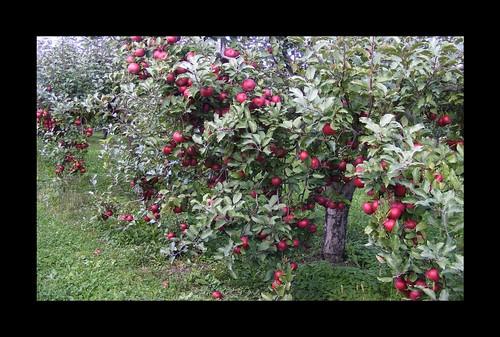 Apple Abundance