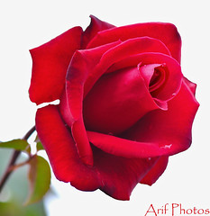 Red Rose (ariflickrs) Tags: potofgold mimamorflowers