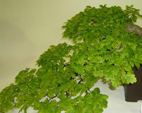 Quercus bonsai