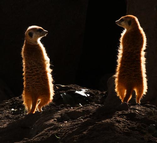 フリー画像| 動物写真| 哺乳類| 小動物| ミーアキャット| 立ち上がる|      フリー素材|