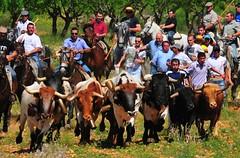 14-05-2011. Primer encierro. Toros de la ganadería La Alpujarra