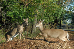 2010 King Of The Hill (DrLensCap) Tags: park white chicago robert nature animal mammal illinois king village tail hill north center il deer kramer whitetail the of