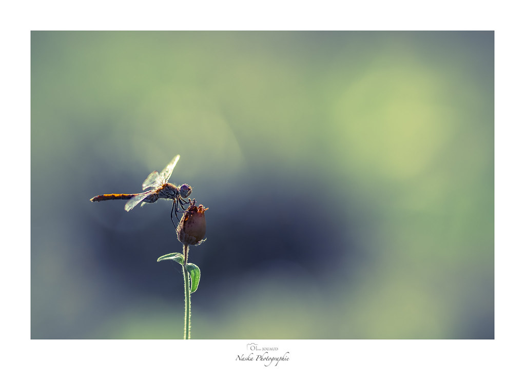 The world 39 s most recently posted photos of insectes - Insecte vert volant ...