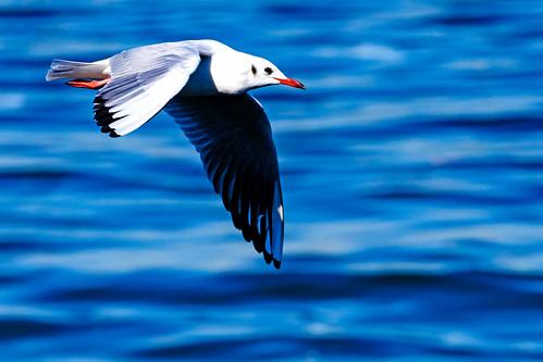 Black-headed Gull Flying on Sea : 横浜港を飛翔するユリカモメ