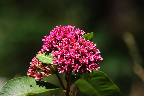 Purple Milkweed
