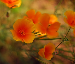 Monet Poppies (RedheadedWoman) Tags: orange flower bokeh style monet poppy poppies 1001nights californiapoppies languageofflowers bokehlicious fabulousflowers nikon50mmf14lens betterthangood excellentflowers highqualityimage awesomeblossoms simplythebest~flowers~ angelawards floralfantasia perfectpedals