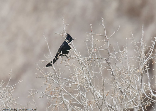 Phainopepla by you.
