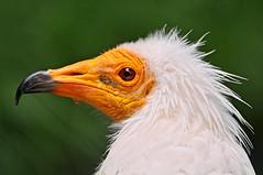 [フリー画像] [動物写真] [鳥類] [猛禽類] [鷲/ワシ] [エジプトハゲワシ]      [フリー素材]