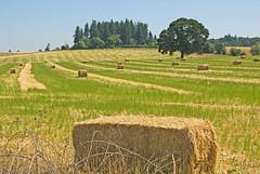 Hay Bales (Gary Grossman) Tags: blue trees sky tree field oregon landscape oak natural farm harvest rows hay bales willamette mulino haybales alfalfa willamettevalley