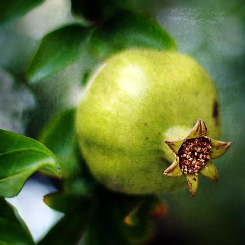 seedy apple