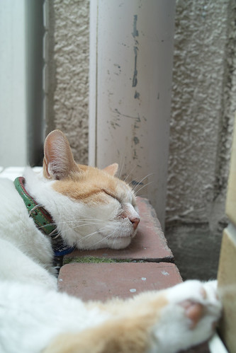 asleep brown cat