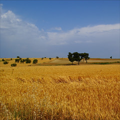 the cornfield...... (atsjebosma) Tags: travel trees summer nature turkey landscape bomen cornfield windy 2009 graanveld eceabat badweatheriscoming atsjebosma hardewind vosplusbellesphotos