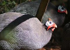 20090826_3985 guinea fowl (williewonker) Tags: bird australia victoria werribee guineafowl wyndham werribeeopenrangezoo