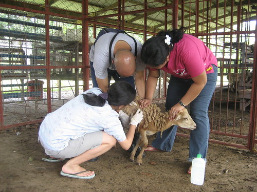 James, Nini & Jeza work on getting lice off the sheep.