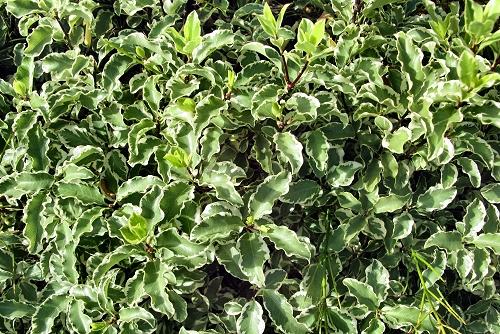 Pittosporum tenuifolium 'Garnettii' (rq) - 01