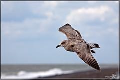 Herring Gull (Larus argentatus) (BraCom (Bram)) Tags: sea bird water clouds flying wolken zee vogel larusargentatus birdwatcher herringgull zilvermeeuw vliegend abigfave platinumheartaward bracom bramvanbroekhoven