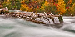 Niagara Gull Fantasy (JamesWatkins) Tags: autumn usa seagulls ny fall water america writing photography landscapes poetry fallcolor photos fallcolors gulls unitedstatesofamerica niagrafalls creative surreal niagra falls autumnleaves fallfoliage foliage waterfalls writers rivers newyorkstate streams theunitedstatesofamerica poems impressionist poets digitalphotography verse nystate westernnewyork d300 beautifulwater rocksandwater movingwater creativewriting riversandstreams freeverse creativewriters niagrariver niagrafallson 5photosaday niagrafallsny surrealphotography downtheriver theamericanfalls the4elements jameswatkins poetryandpicturesinternational thecolorsofautumn beautifulfalls beautifulwaterfalls poemsandphotographs poemsandpictures picturesandpoems thecanadianfalls pictureapoem photographyandpoems waterfallsofcanada poemsandpoets photographsandpoems newyorkflora poetsandpoems poemsandphotography buffalonyarea artandpoems poemsandart waterfallsoftheus downtothefalls