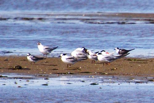2 bl terns