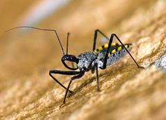 Thai Assassin Bug (aeschylus18917) Tags: macro nature bug insect thailand nikon jungle thai assassinbug pxt 105mm truebug insecta khaoyai 105mmf28 reduviidae hemiptera heteroptera サシガメ ราชอาณาจักรไทย khaoyainationalpark 105mmf28gvrmicro เขาใหญ่ d700 nikkor105mmf28gvrmicro ダニエル ratchaanachakthai cimicomorpha danielruyle aeschylus18917 danruyle druyle ルール ダニエルルール