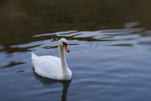 Swan, Fort Brockhurst Moat. Lensbaby Composer, Double Glass Optic, f2.8