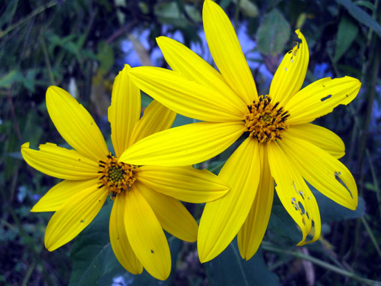 Ragged Yellow Flowers (Click to enlarge)