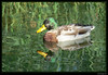 Un canard colvert sur le canal avec les reflets de la verdure. (Dogeed) Tags: lumix panasonic fz30 vosplusbellesphotos mtrtrophyshot dogeed