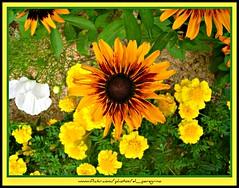 Yellow fever (El Peregrino) Tags: paris france flower fleur yellow eu giallo fiore francia parigi saintseverin