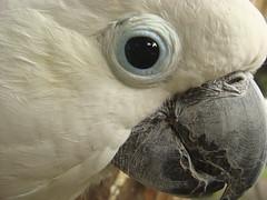 lesser sulphur-crested cockatoo (goatsfoot) Tags: park bali macro bird eye closeup indonesia beak parrot sulphur cockatoo sulfur crested lesser cacatua sulphurea