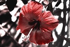 Infrared Flower (criszzz) Tags: red summer orange sun flower beautiful canon grain infrared coloured sansebastian gomera