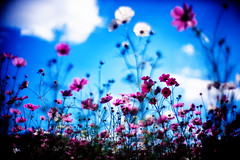last paradise (moaan) Tags: life leica blue autumn sky flower 50mm flora october dof bokeh dream bluesky utata bloom flowering dreamy mp 2009 cosmos blooming rvp f095 fujivelvia inbloom cosmosbipinnatus leicamp canonf095 fujirvp inlife canon50mmf095 gettyimagesjapanq1 gettyimagesjapanq2