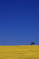 Canola Field 3/  3 (kth517) Tags: spring australia  yellowflowers    canolafield 24105mm bellarinepeninsula victoriastate