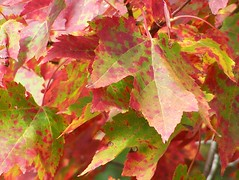 Maple Leaves (Lily C.) Tags: canada fall automn newbrunswick redgreen mapleleaves lilyc feuillesdrable rougevert newgoldenseal