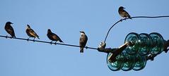 storni ad alta tensione (Antonio clic) Tags: sardegna fauna canon reflex sardinia ali uccelli volo ala birdwatching avifauna stagno piume puzzones