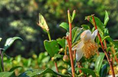 Charleston Tea Plantation 12 (TangataManu) Tags: southcarolina teaplantation wadmalaw