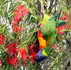 "Acrobatic (Jayred: ""Photography puts more life into life."" me) Tags: flowers blue red brown green bird eye crimson leaves yellow garden grey wings bush blossom branches tail beak feathers multicoloured lorikeet stamen grevillea talons"