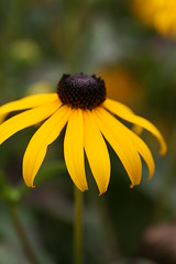 Making your November a Little More Sunny (hotes trinkets/DaydreamingKat) Tags: ohio summer flower nature fleur yellow natural bokeh nocrop blackeyedsusan flore sooc straightfrommycamera nocolorsadded sonyalphadslra700 absolutelynatural hotestrinkets littlemoresunny