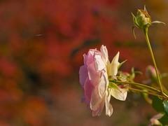 Roses-Hakone-2009-107 (Bunzo78) Tags:   11 2009