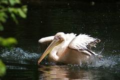 Pelican - Pelikaan (Cajaflez) Tags: holland water zoo thenetherlands waterbird pelican splash rhenen dierentuin pelikaan ouwehand bej watervogel vosplusbellesphotos saariysqualitypictures infinitexposure