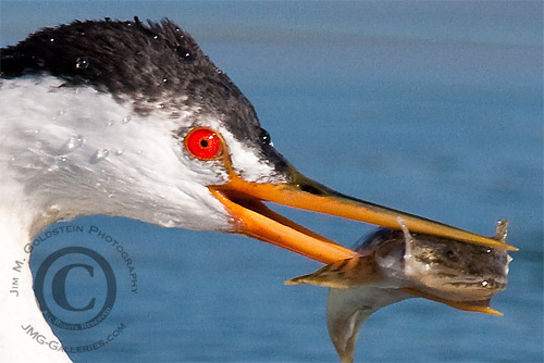 Western Grebe and Fish (Aechmophorus occidentalis)