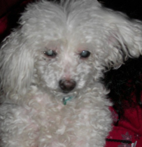 Lost small white female miniature poodle in West Toledo who wants her mama
