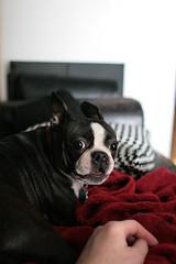 OMG yes (silvermeat) Tags: portrait dog cute boston puppy bostonterrier 28mm terrier crazyeyes opal 30d